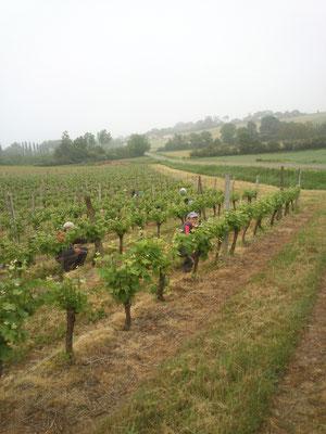 Épamprage de la vigne