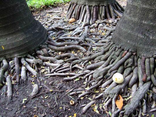 木の根が元気いい