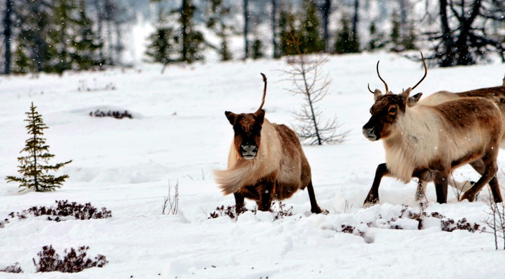 tour to reindeer herders