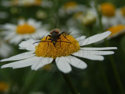 Gänseblümchen-Käfer