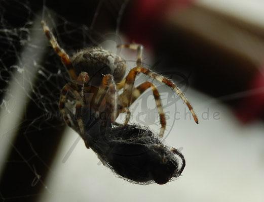 Spinnenfutter