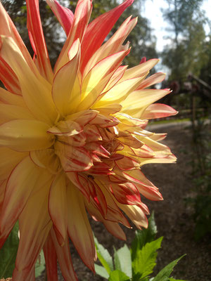 Riesenblütige Dahlie
