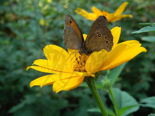 Schmetterlings-Pärchen
