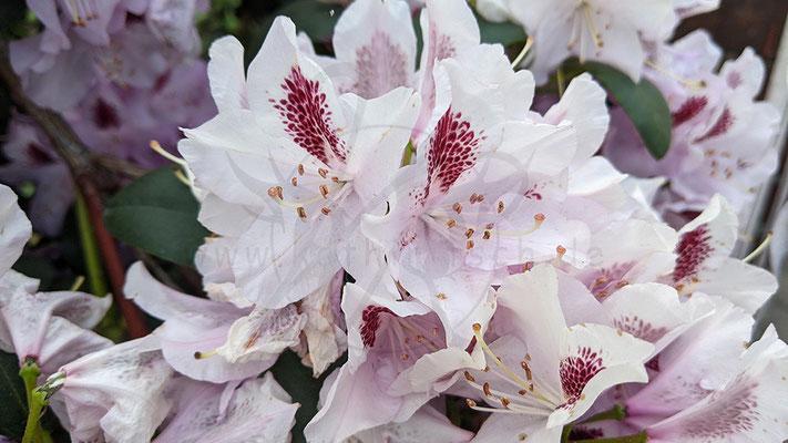 Rhododendron Sappo