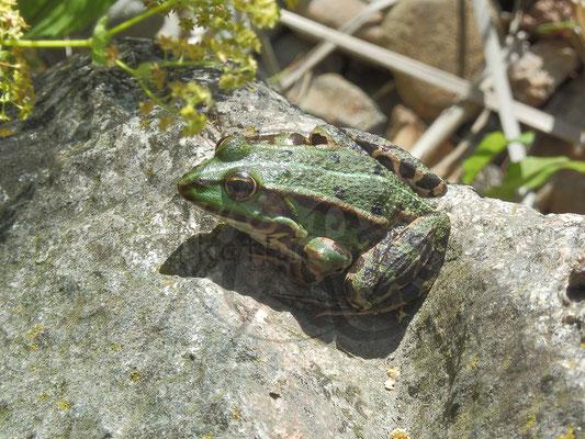 Froschkänig
