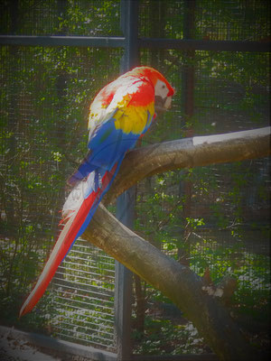 Pop-Papagei