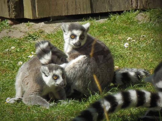 Lemuren Spielchen