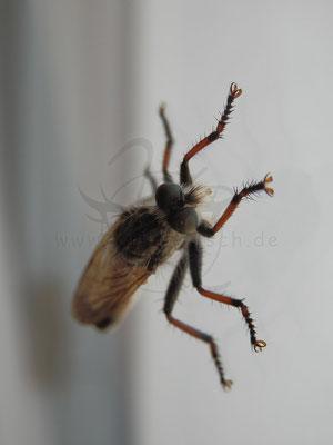 Fenster-Fliege