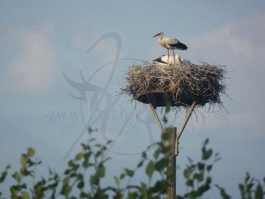 Storchen im Nest