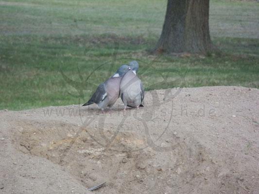 Liebende Tauben
