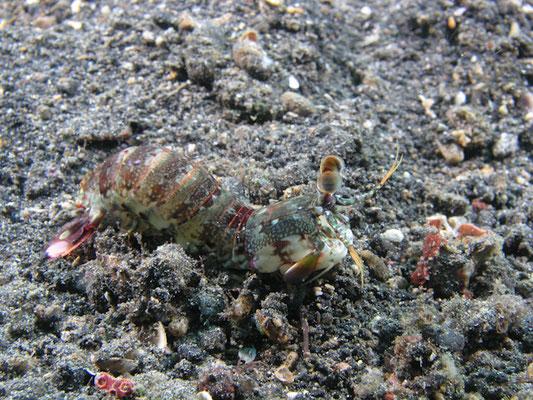 Odontodactylus latirostris