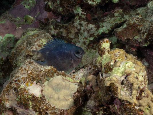 Acanthochromis polyacanthus