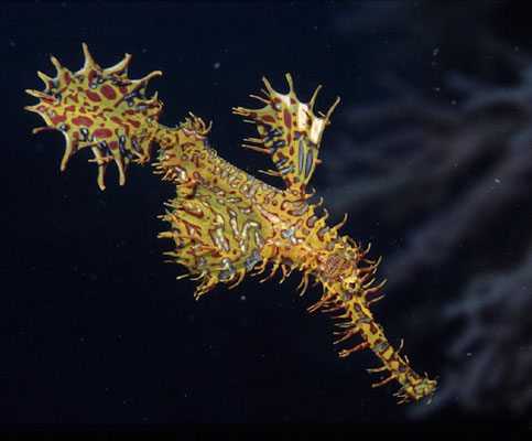 Solenostomus paradoxus