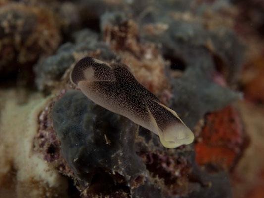 Chelidonura amoena