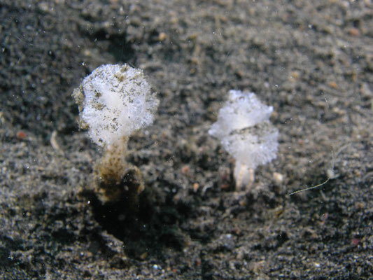 Oceanapia sagittaria