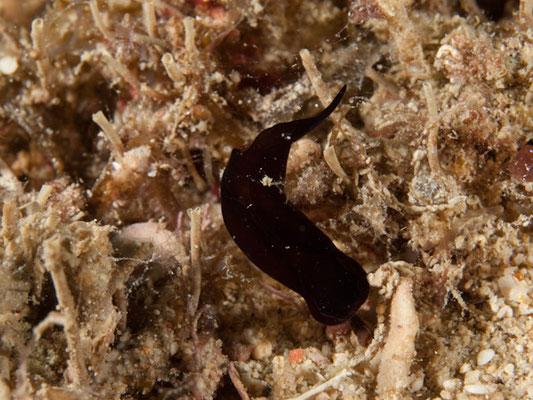 Chelidonura sp. A