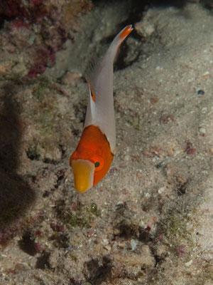 Cetoscarus bicolor - Juvenile