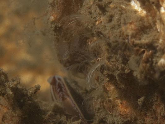 Semibalanus balanoides