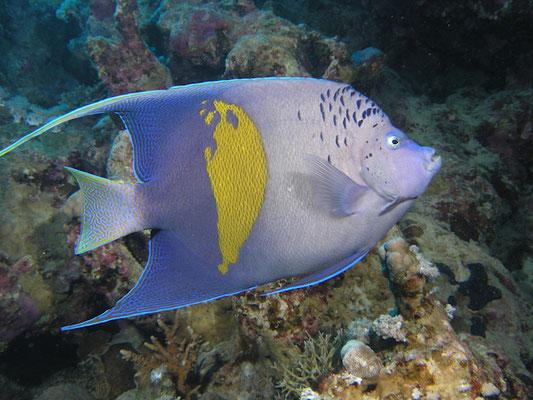 Pomacanthus maculosus