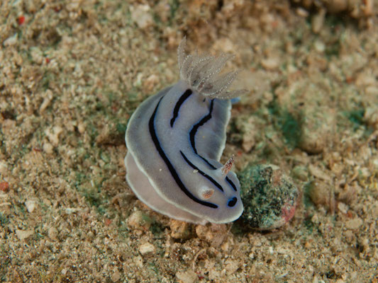 Chromodoris willani