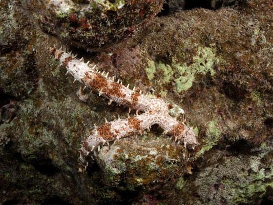 Mithrodia bradleyi