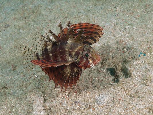 Scorpaenopsis sp
