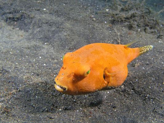 Arothron stellatus - Juvenile