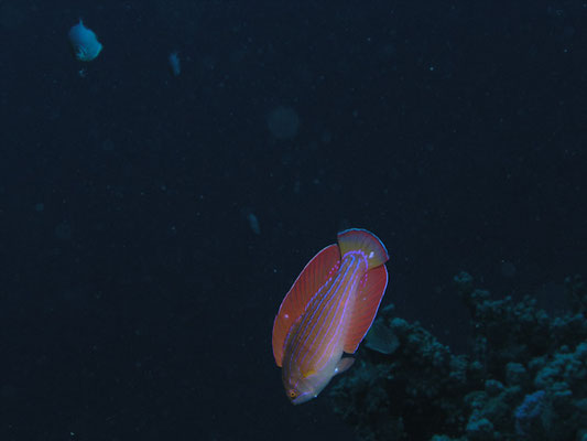 Paracheilinus octoaenia
