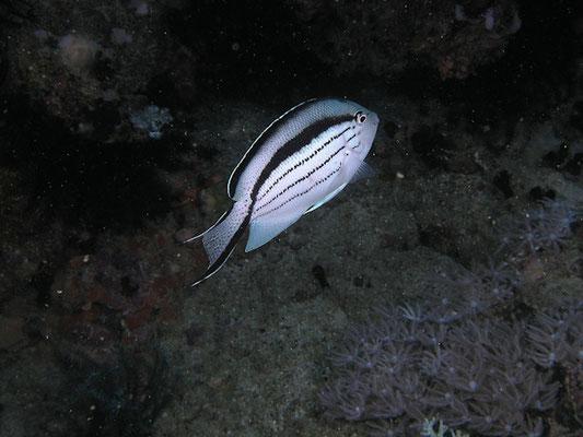 Genicanthus lamarck