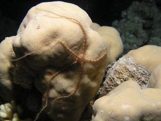 Ophiocoma scolopendrina