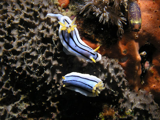 Chromodoris elizabethina