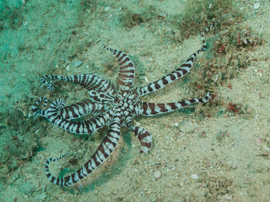 ThauThaumoctopus mimicusmoctopus mimicus