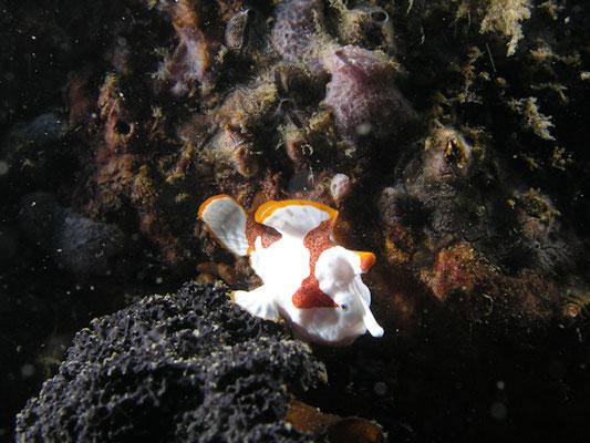 Antennarius maculatus