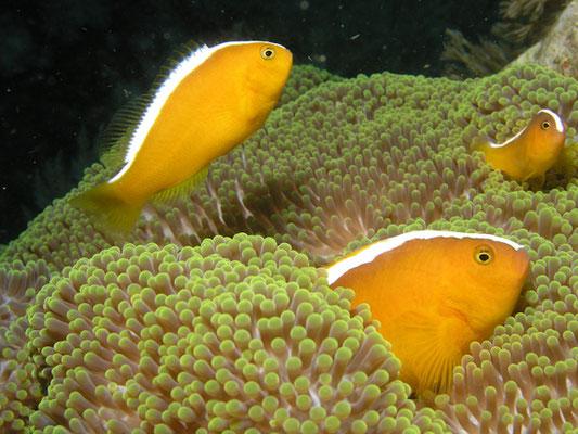 Amphiprion sandaracinos