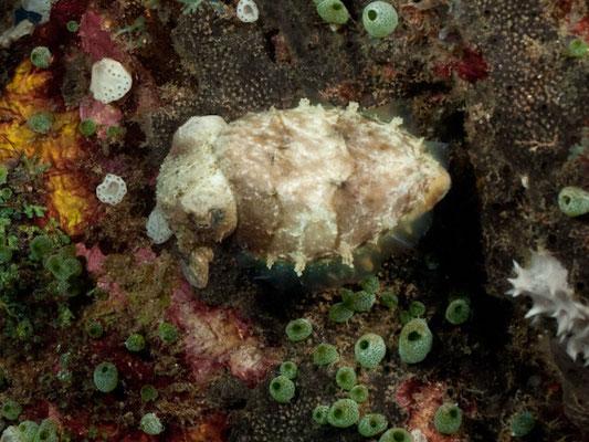 Sepia papuensis