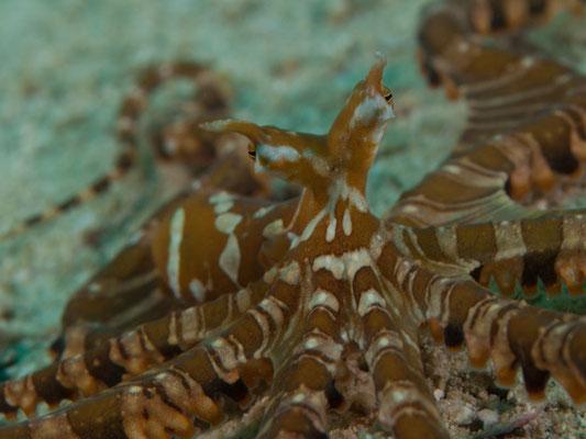 Wunderpus photogenicus