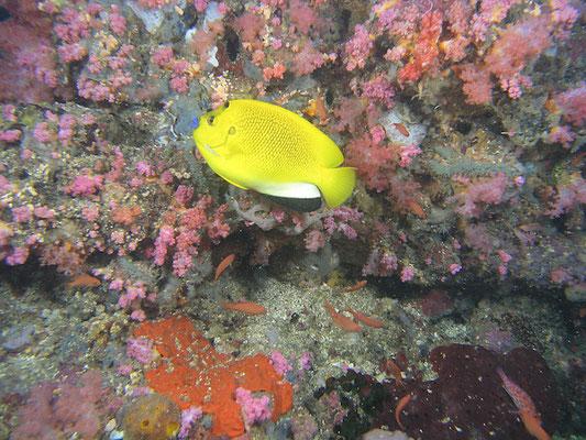 Apolemischthyne trimaculatus