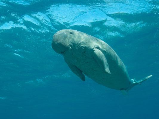 Dugon dugon