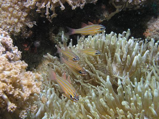 Apogon cyanosoma