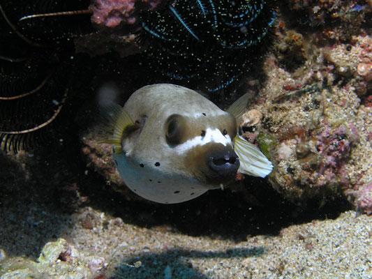Arothron nigropunctatus