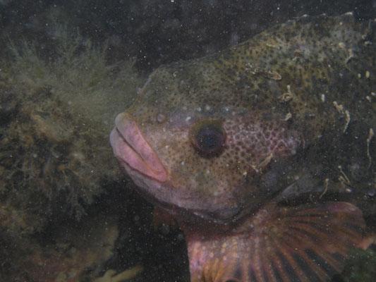 Pleuronectus platessa