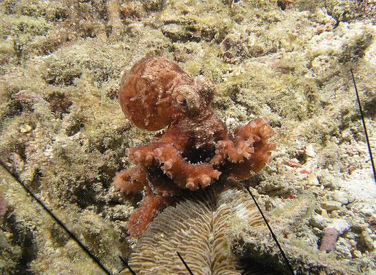 Octopus sp