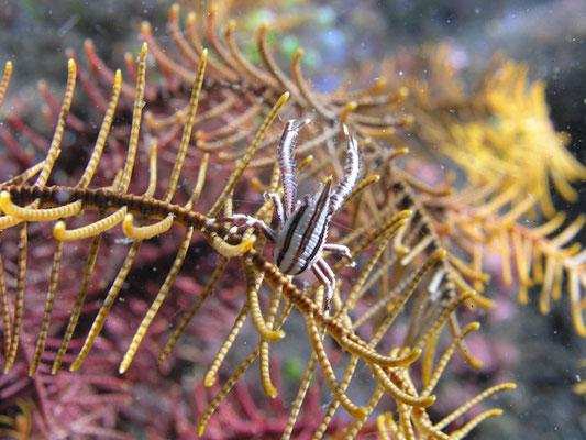 Allogalanthea elegans