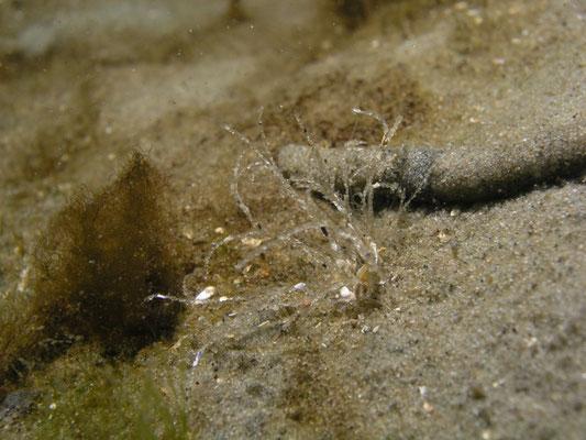 Plydora ciliata