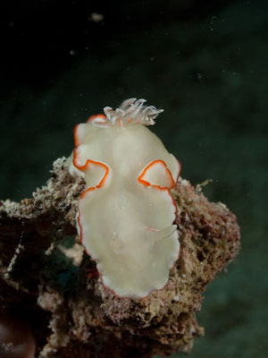 Glossodoris sp1