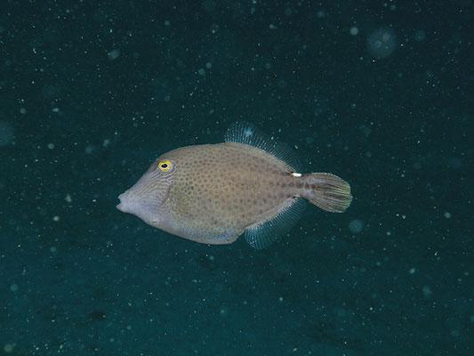 Pseudomonacanthus elongatus