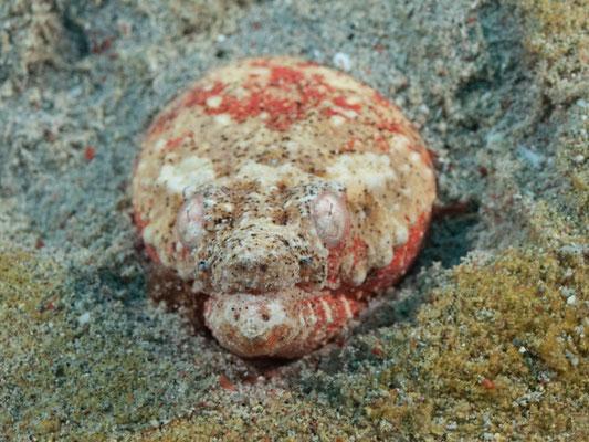 Brachysomophis henshawi