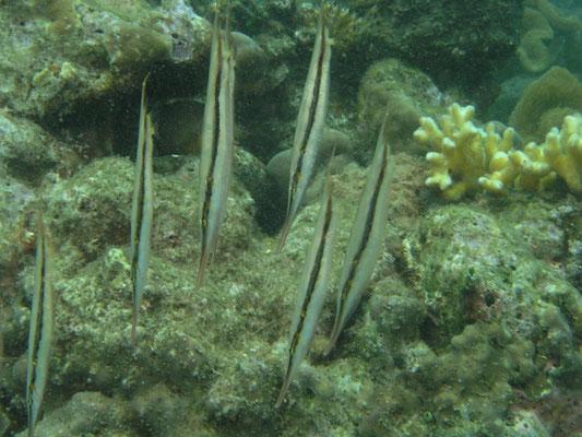 Aeoliscus punctulatus