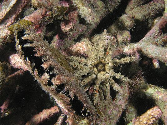 Plococidaris verticillata