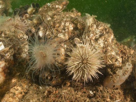 Psammechinus miliaris